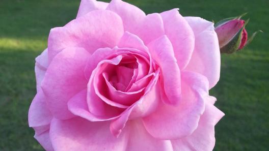 Cuidando das roseiras