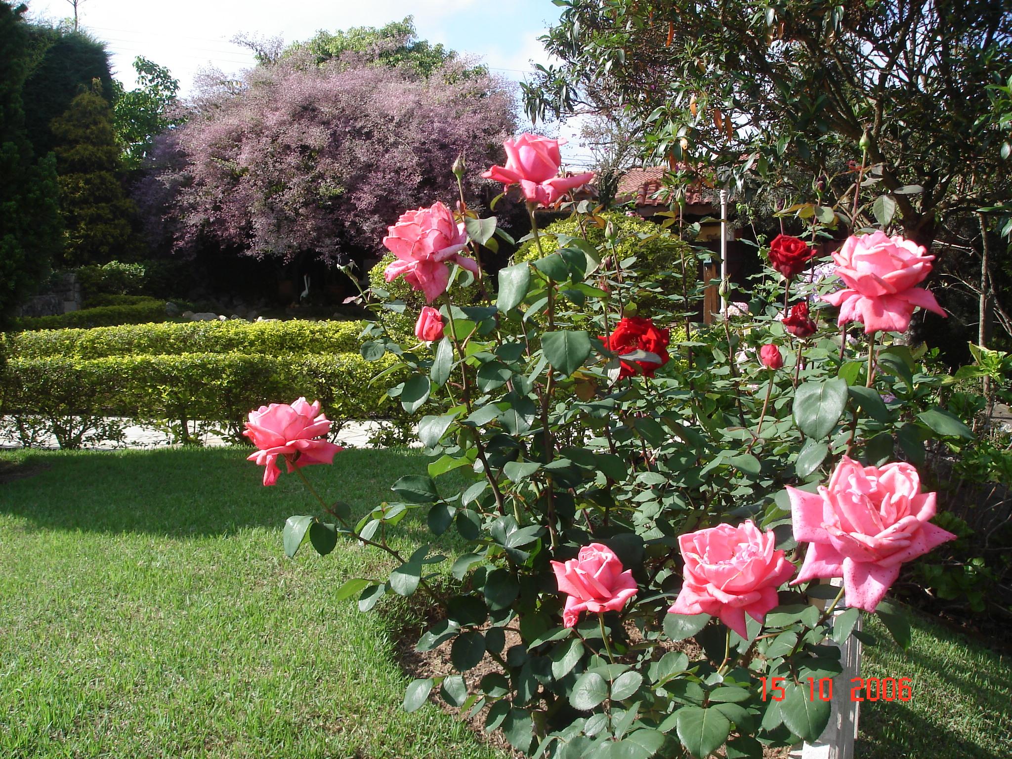 replantar-mudas-roseiras